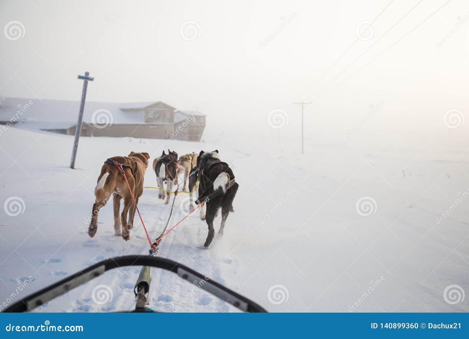 Uns seis cães bonito chovem canivetes puxar um trenó Imagem tomada do assento na perspectiva do trenó Divertimento, esporte de in