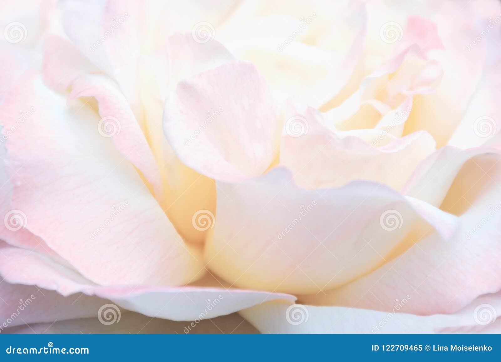Unscharfes Bild - Rosarosenblume, Blumenhintergrund