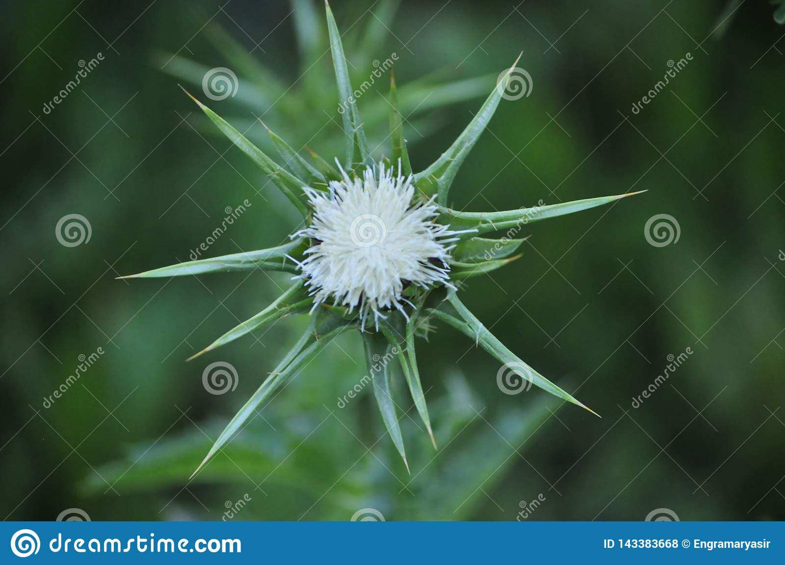 Unseen White Milk Thistle, Spring Blossom Highly Protected