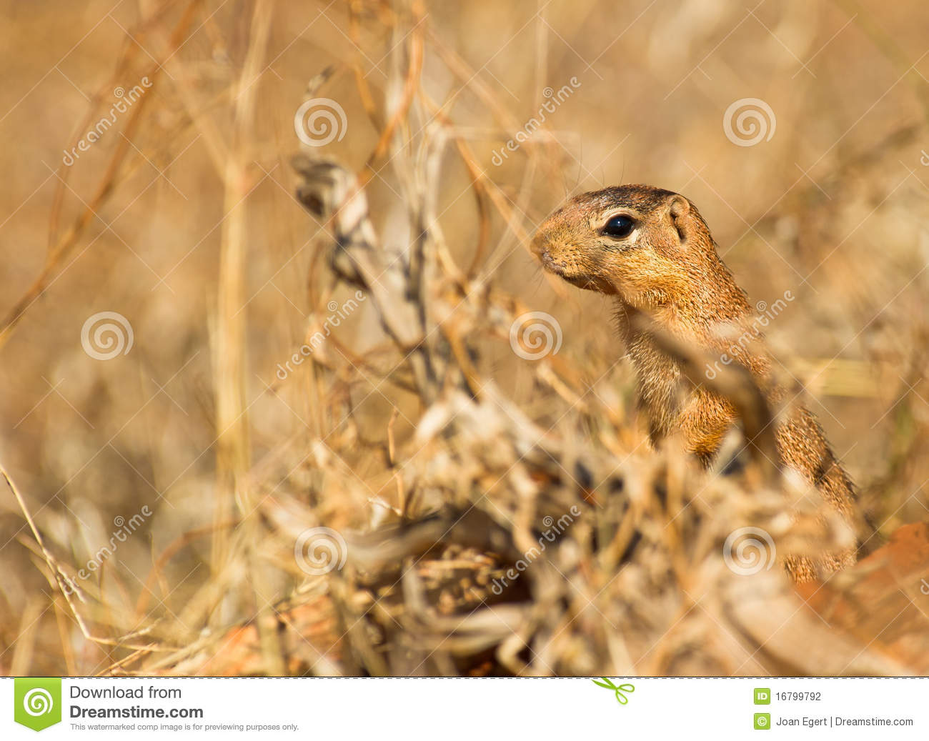The Unstripped Ground Squirrel