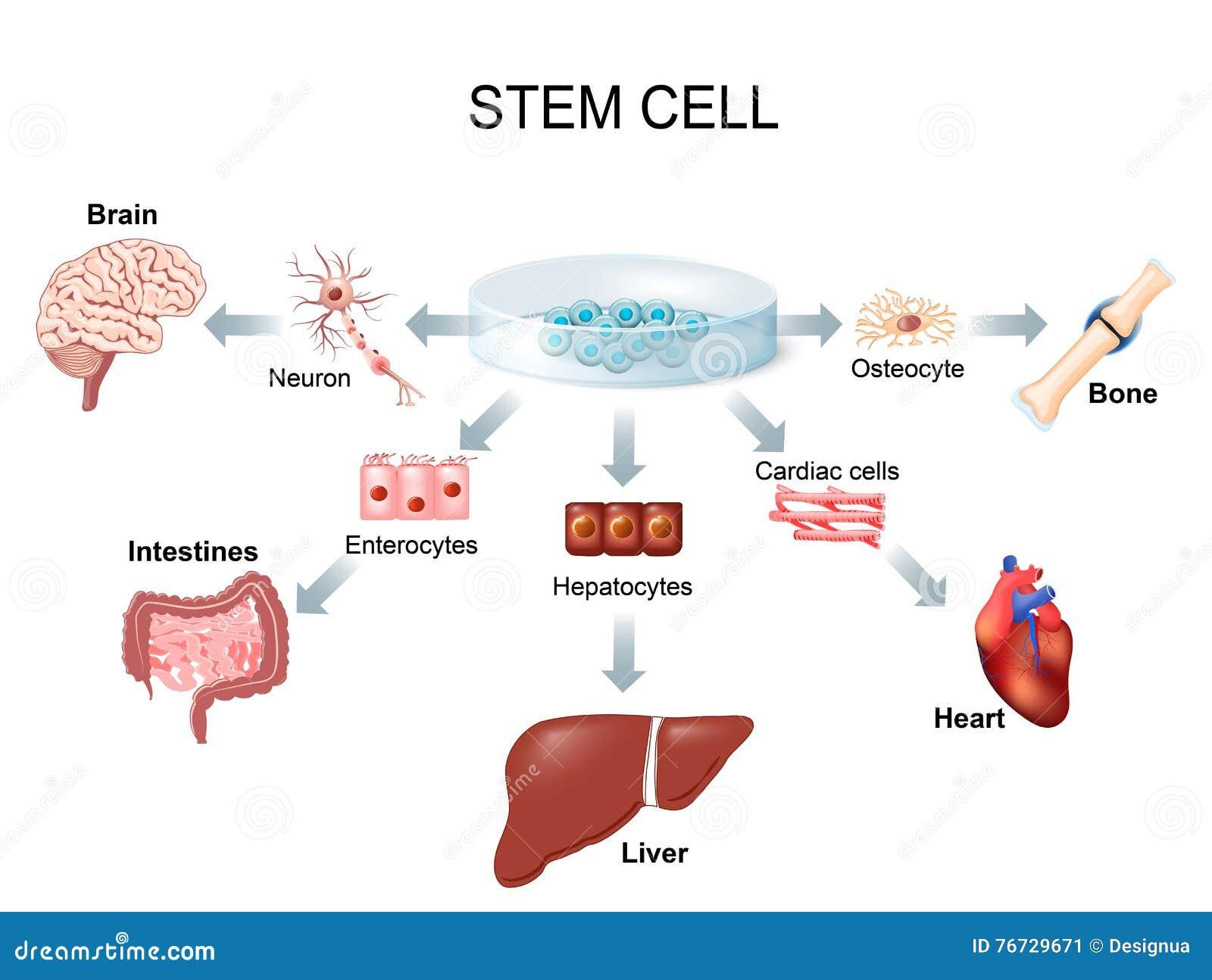 Unter Verwendung der Stammzellen, zum von Krankheit zu behandeln
