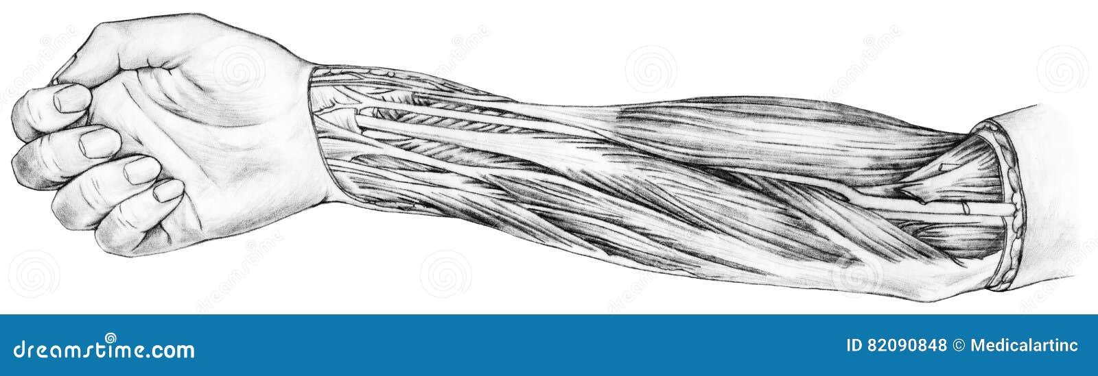 Unterarm - Muskeln Und Sehnen Stockfoto - Bild von unterarm ...