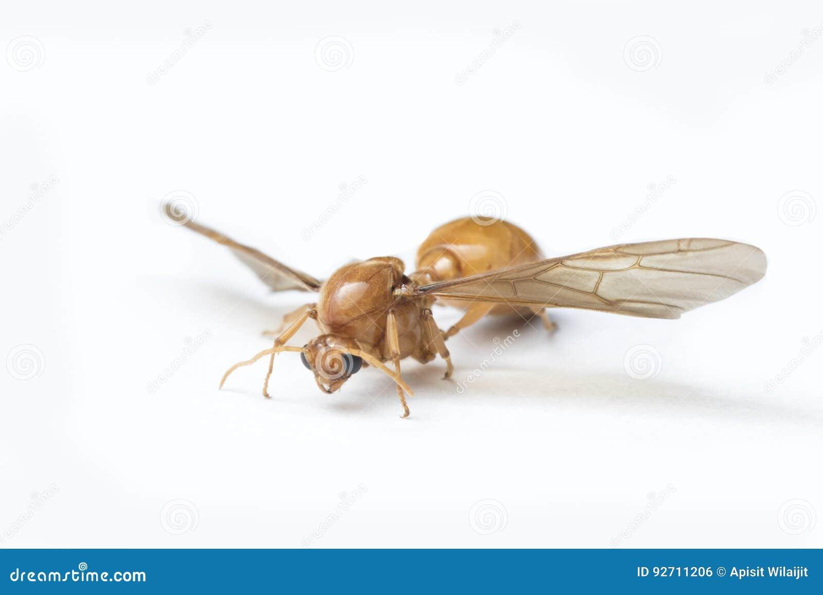 Favorit Unterirdische Ameisen, Fliegende Ameisen Auf Weißem Hintergrund RX53
