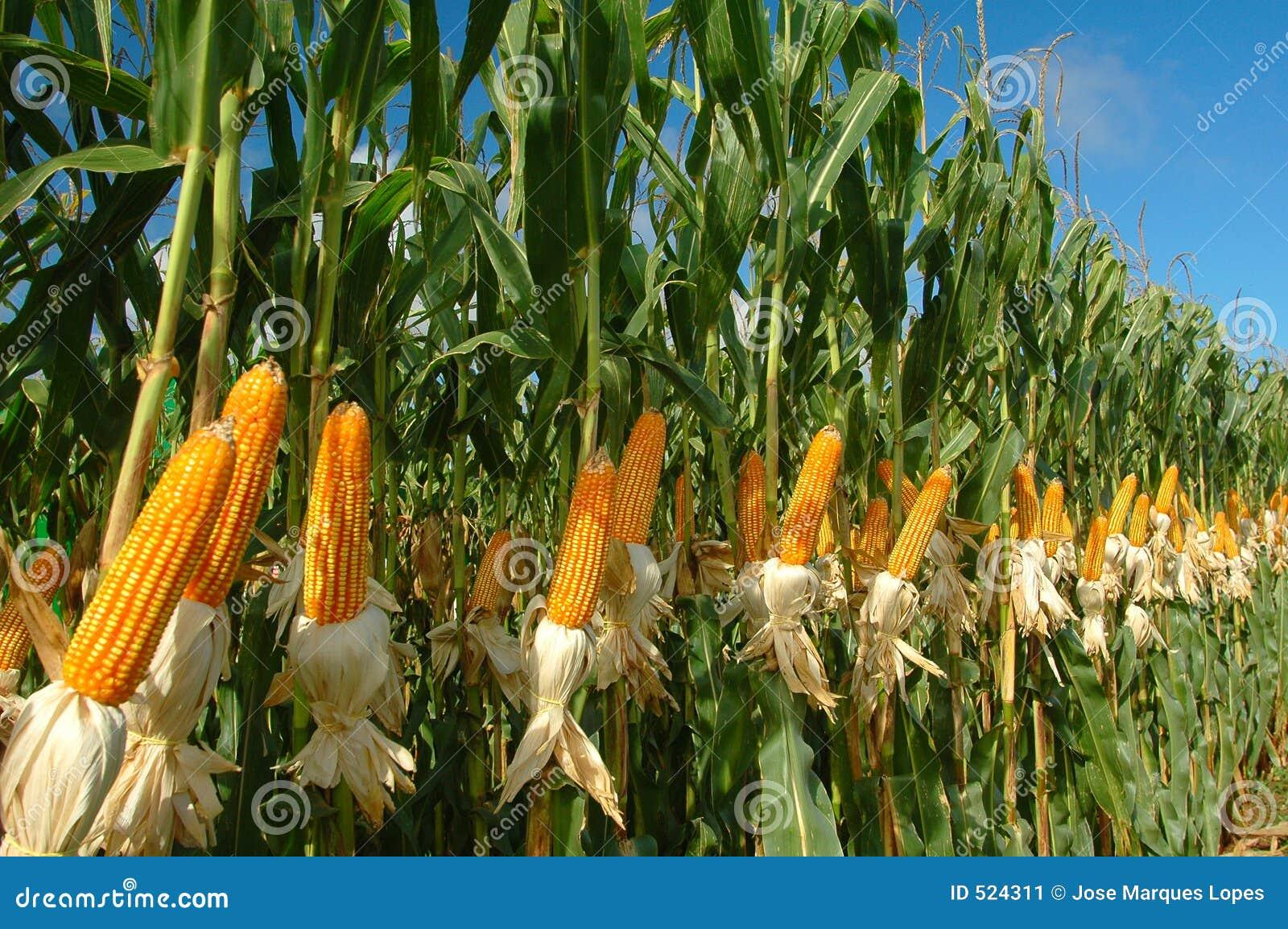 Unterschiedliche Maisplantage
