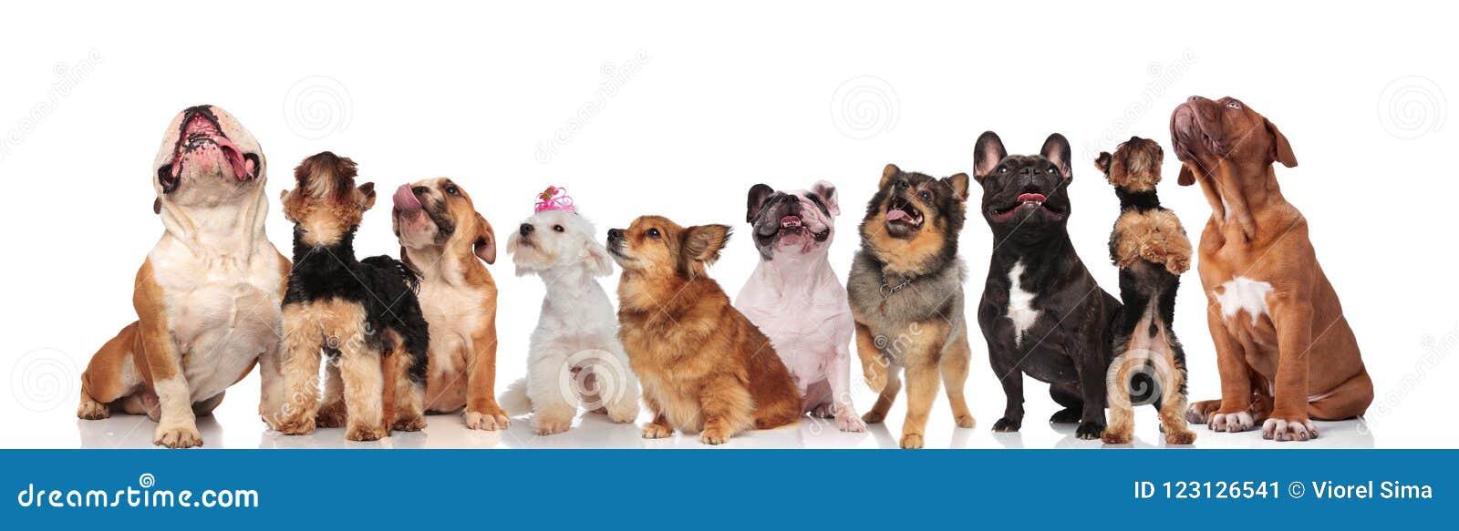 Unterschiedliche Zucht von den neugierigen oben schauenden und keuchenden Hunden