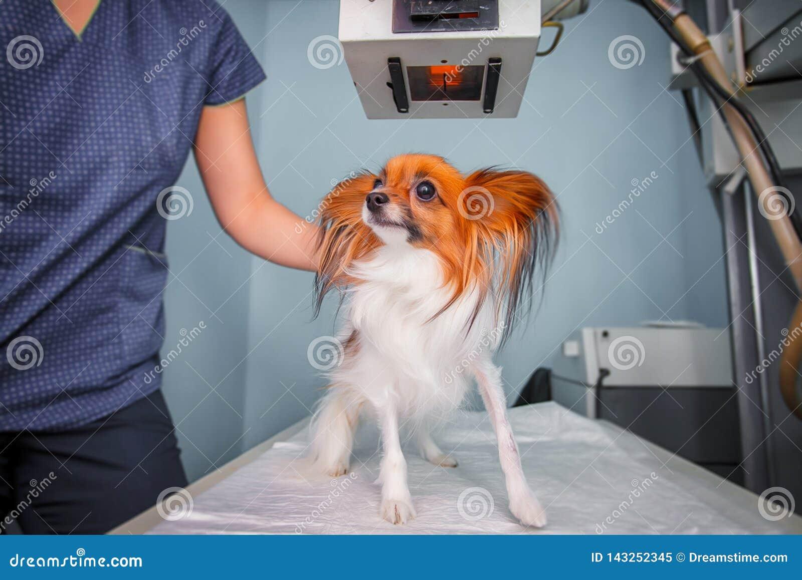 Untersuchungshund Doktors im Röntgenstrahlraum
