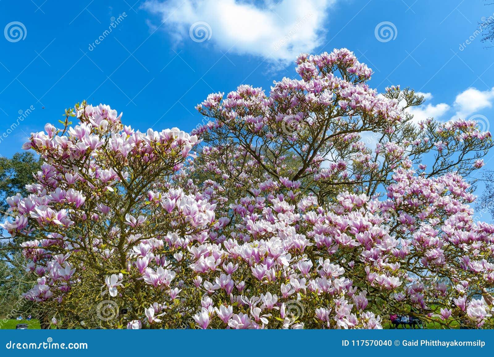 Untertassenmagnolie Magnolie x soulangeana, eine hybride Anlage in der Klasse Magnolie und Familie Magnoliaceae