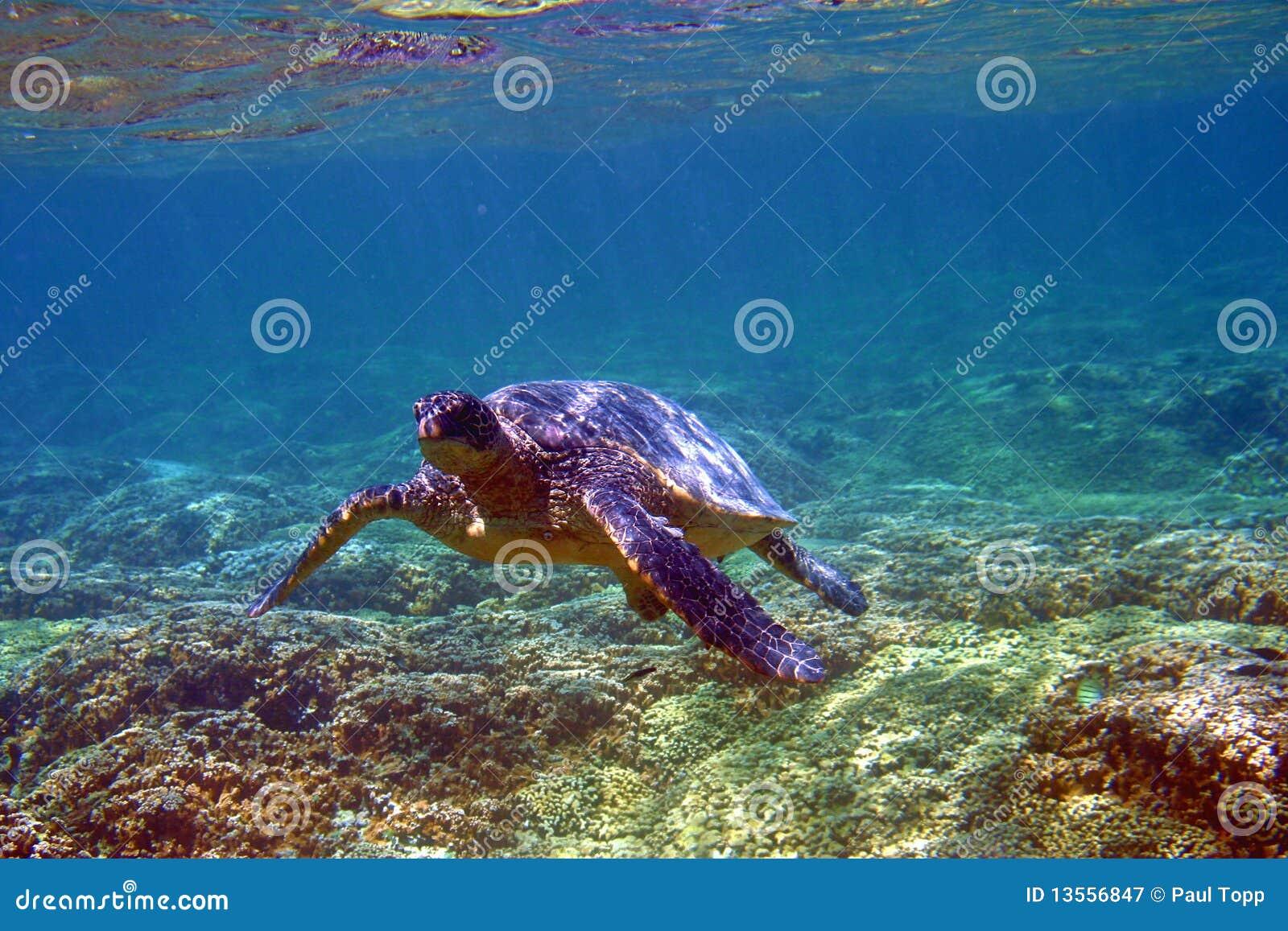 Unterwasserseeschildkröte in Hawaii