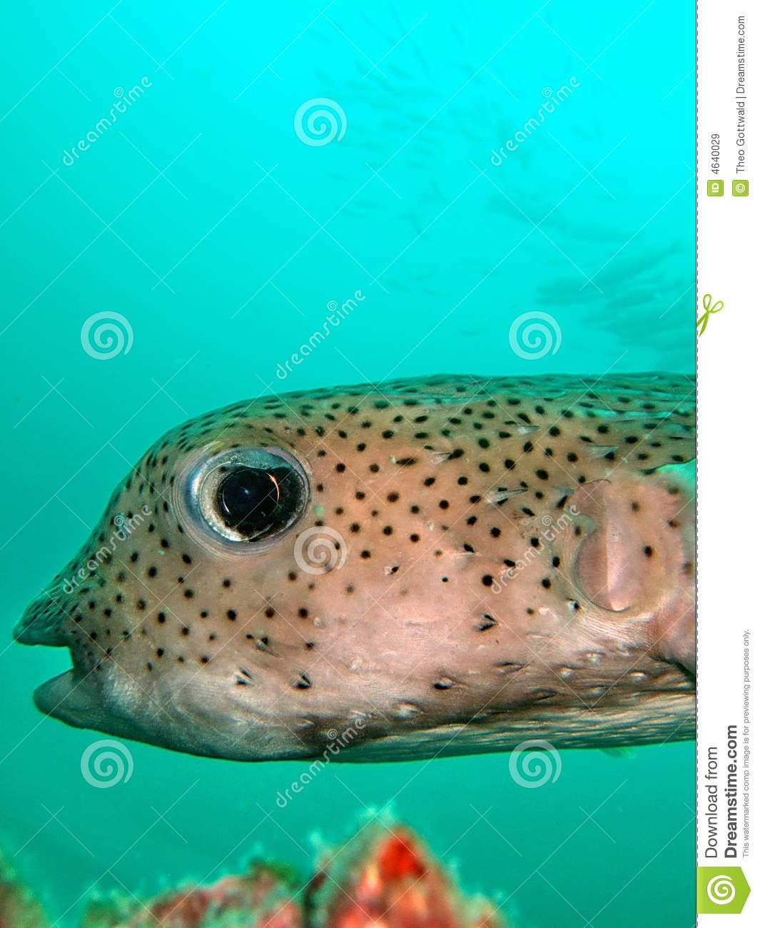 ... unusual tropical fish swimming in turquoise sea with shoal of fish in