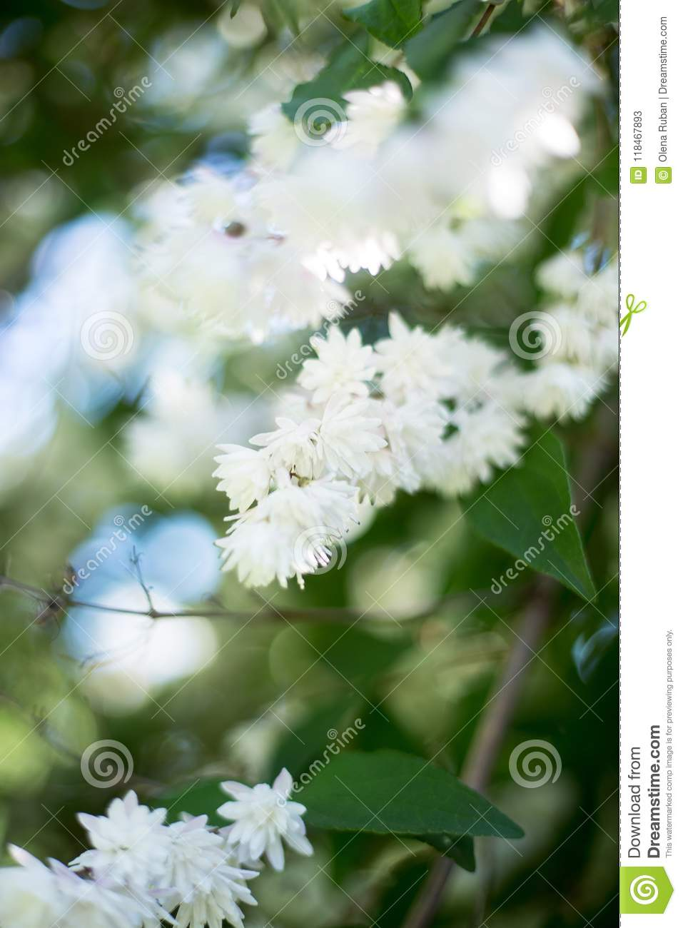 Unusual White Flowers Of Small Size Close Up Stock Image Image Of