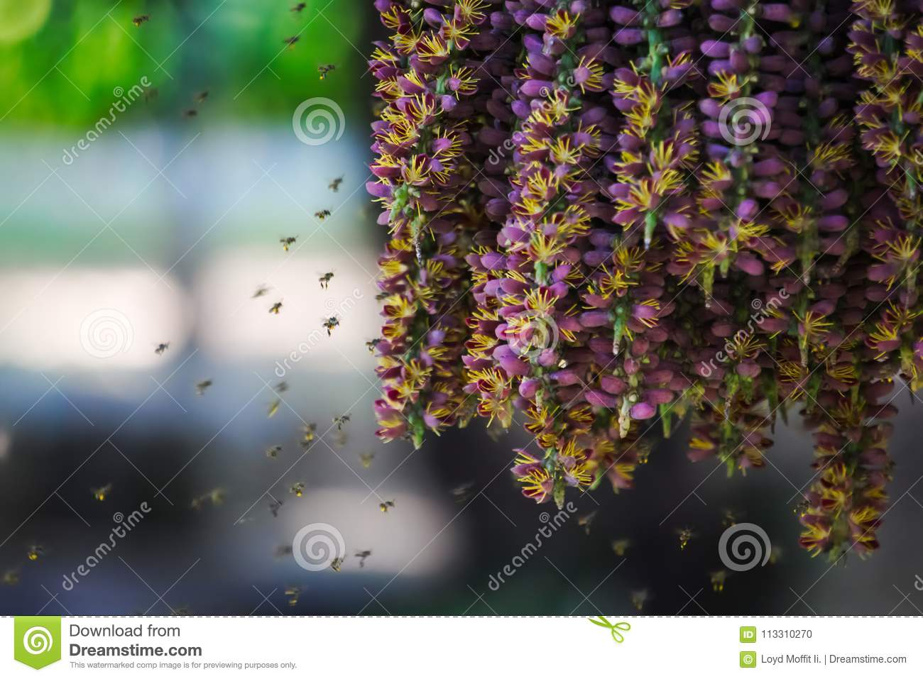 Unusually beautiful scene of swarming bees enjoying the pollen of a hanging group of purple flowers from a palm plant in a lush Th