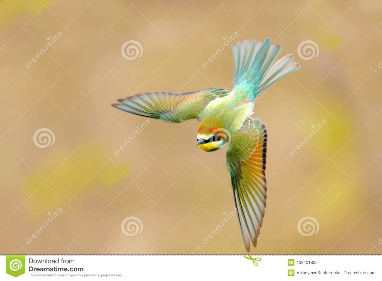 Unusually beautiful shot of a young bee-eater in flight