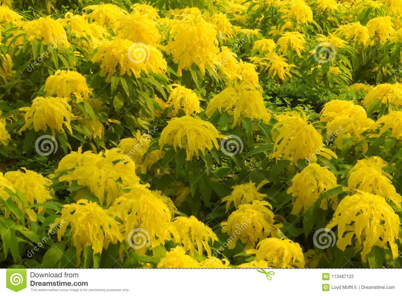 Unusually large hanging yellow flowers, in a large garden bed of a lush green Thai park.