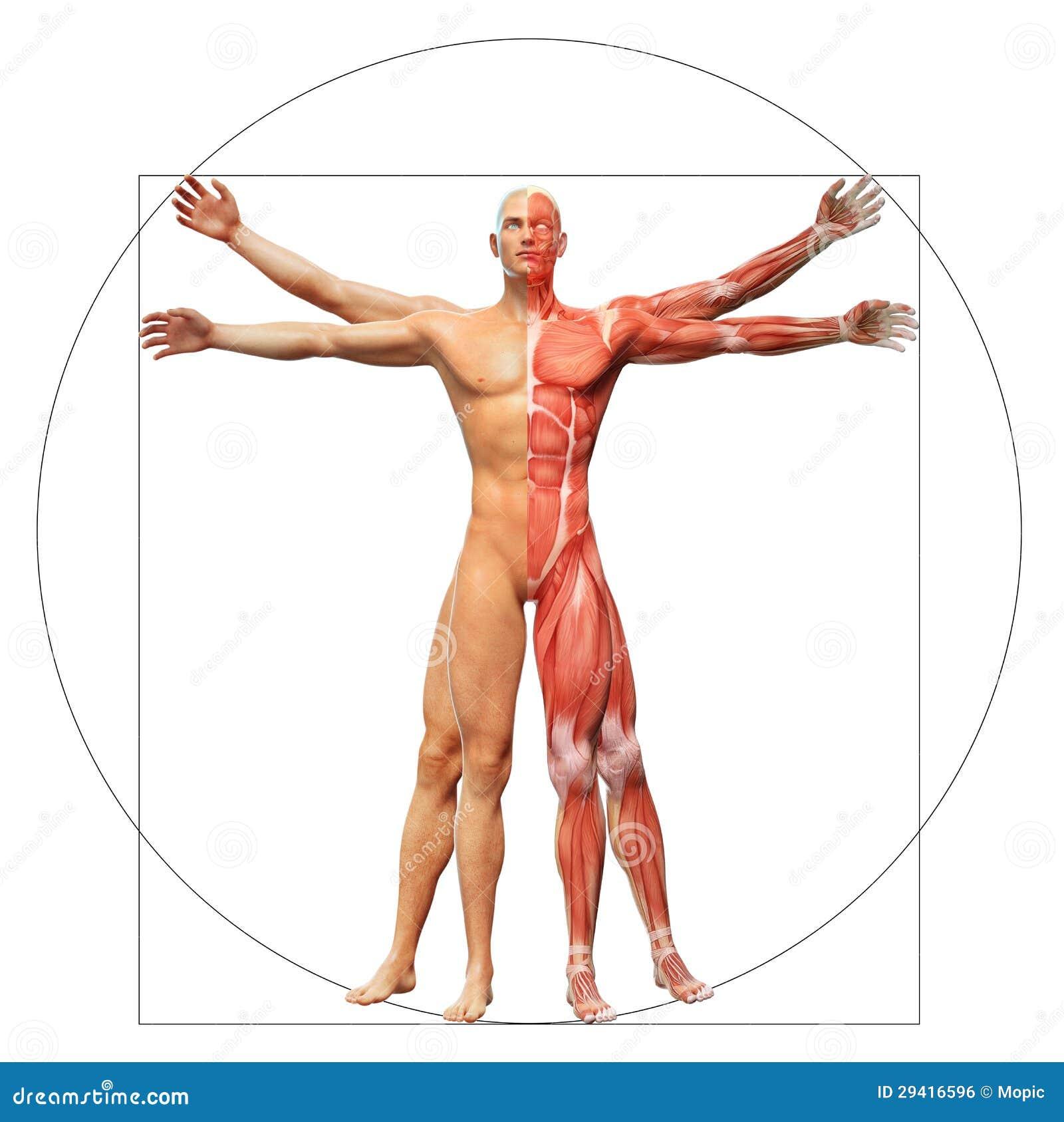 Uomo umano di Vitruvian di anatomia