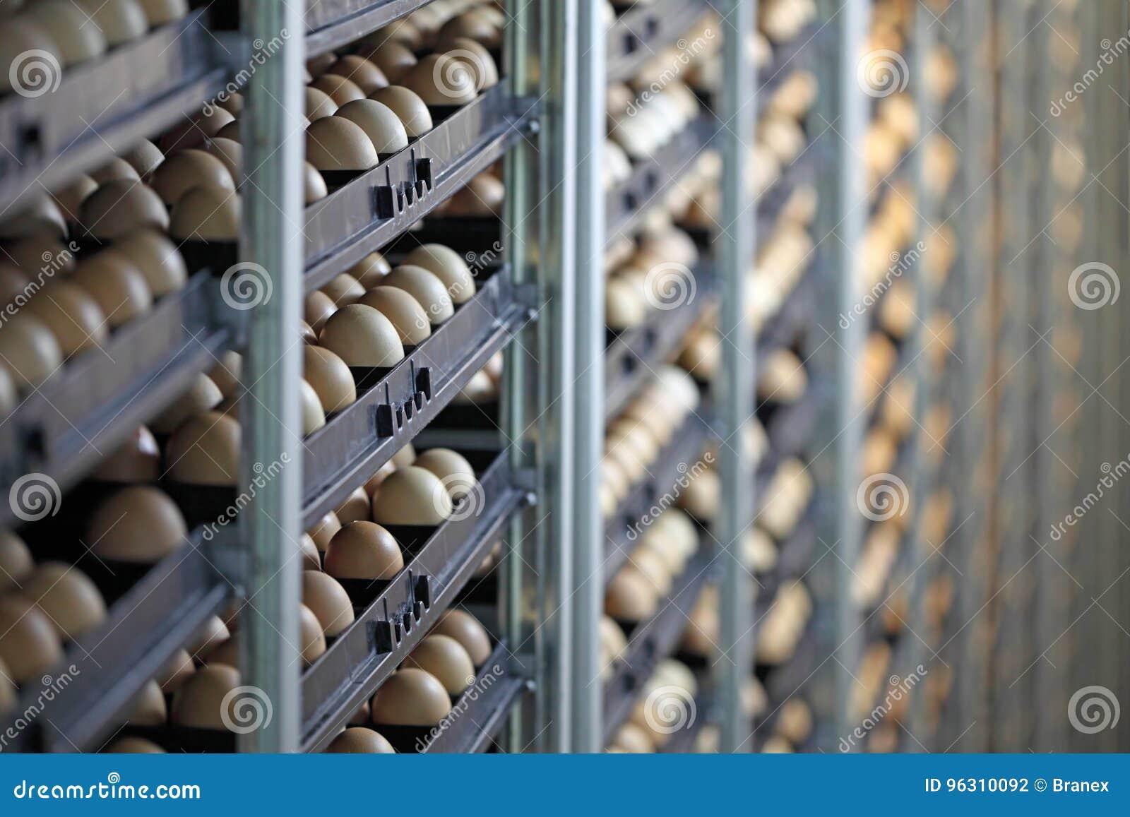 Uova del pollo