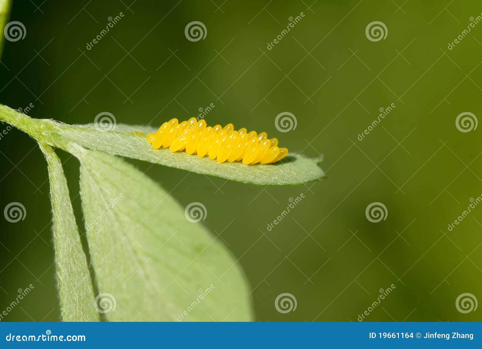 Uova dell insetto