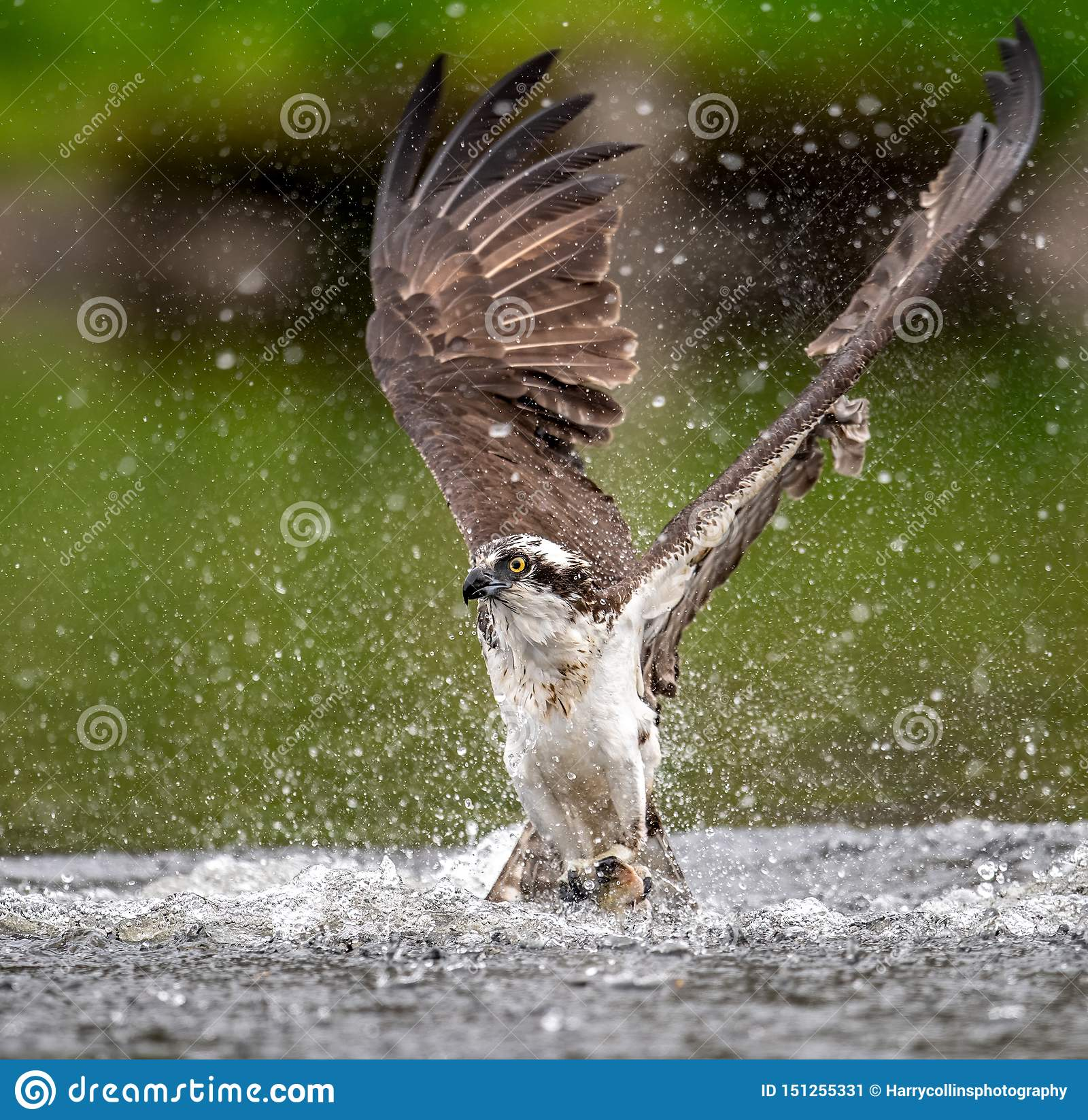 Up Close Shot of Osprey Catching a Fish