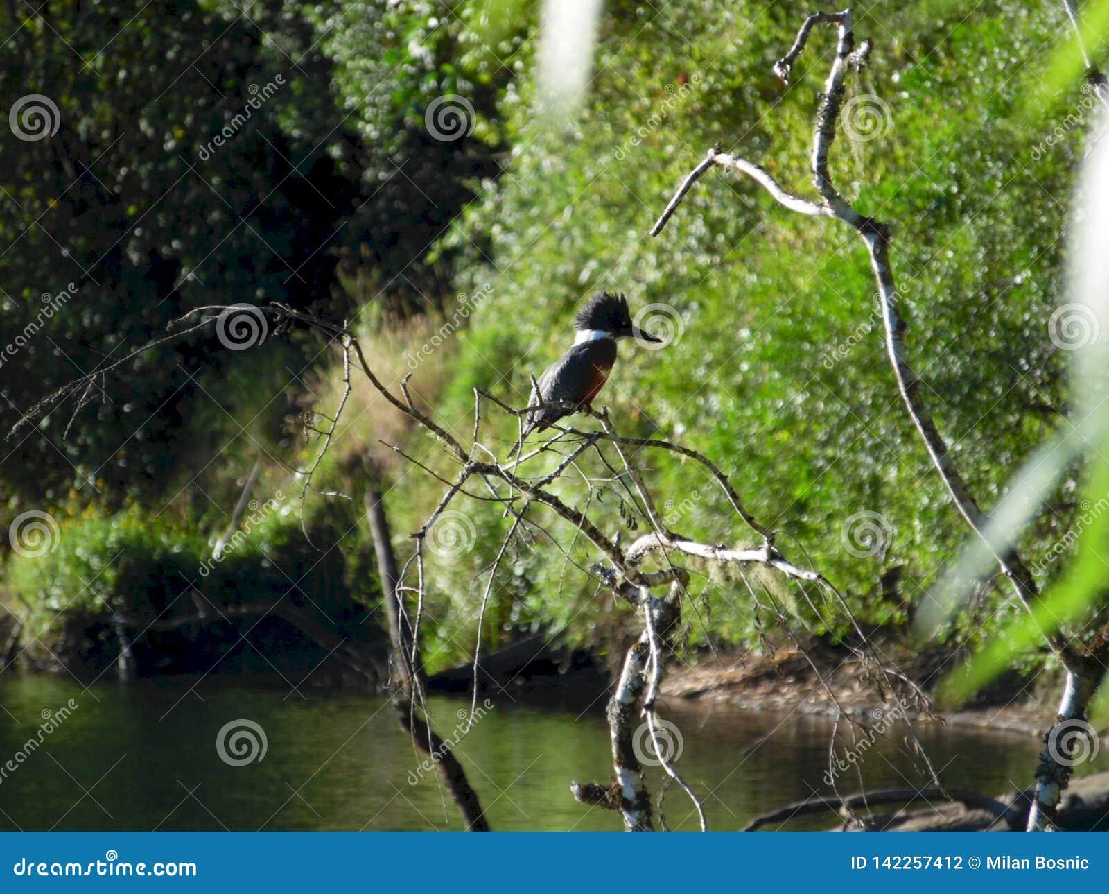 Upierścieniona zimorodek pozycja na drzewie