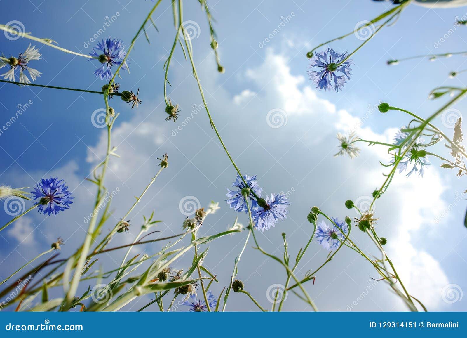 Upp sikt på himmel till och med blommor för blå tusensköna sommarblomning av willen