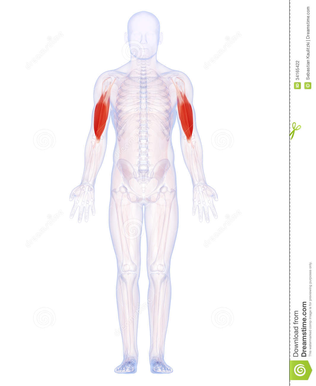 The Upper Arm Muscles Stock Illustration Illustration Of Rendering