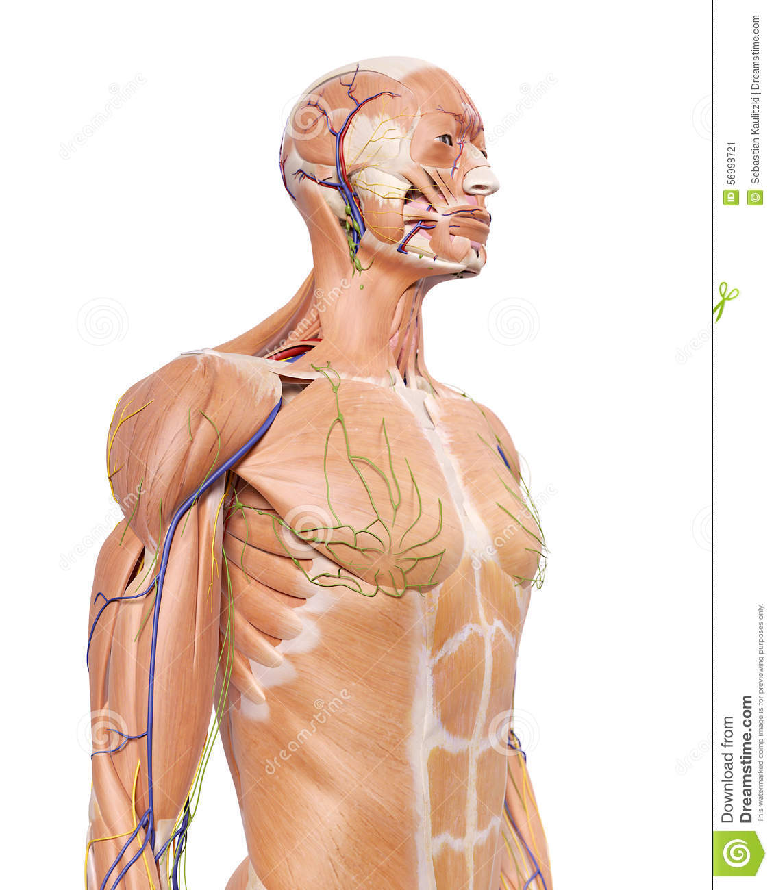 The upper body anatomy stock illustration. Illustration of white ...