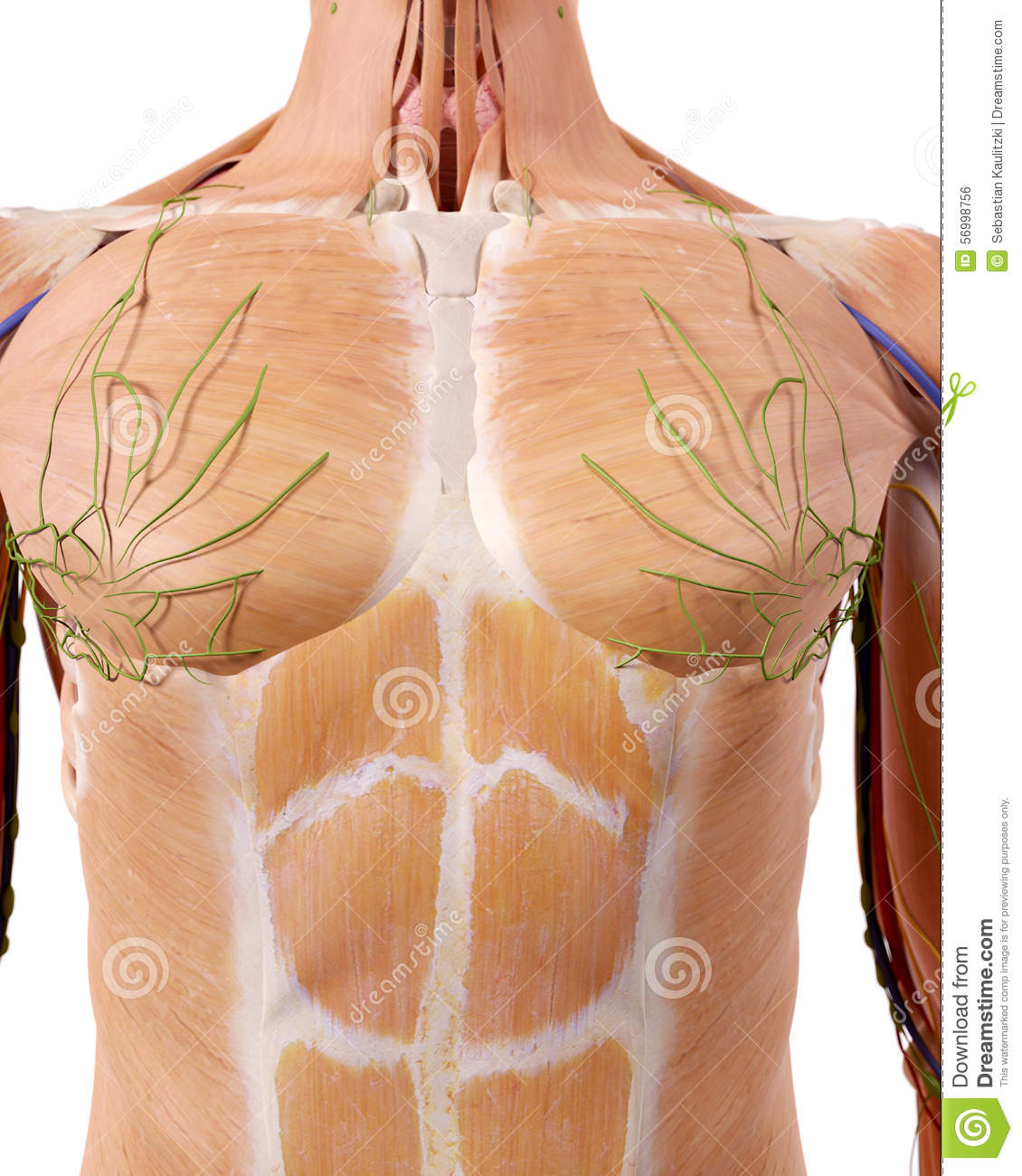 The upper body anatomy stock illustration. Illustration of nerves ...