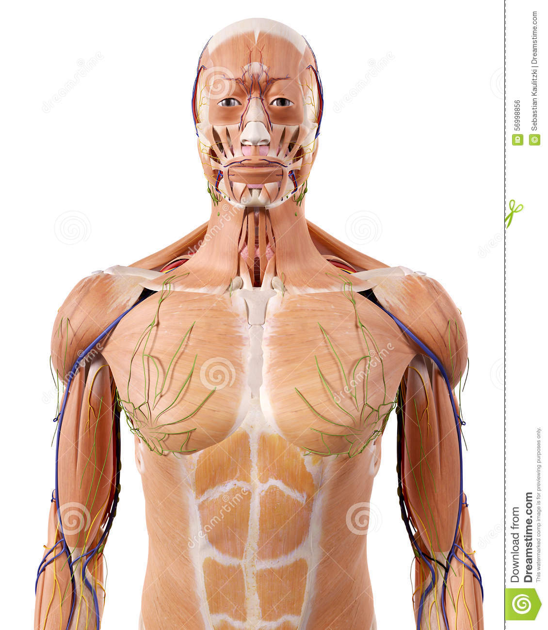The upper body anatomy stock illustration. Illustration of ligament ...
