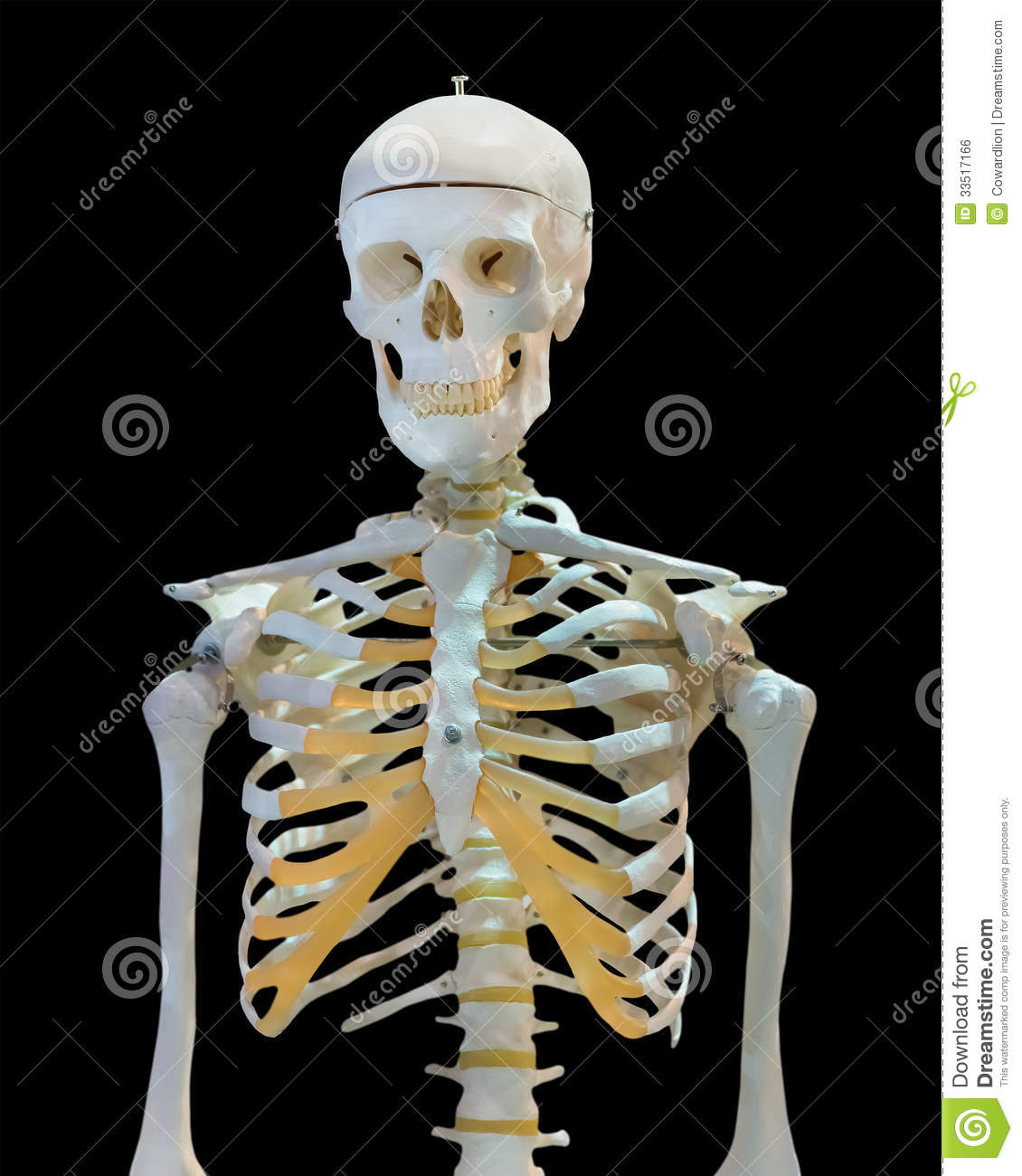 Upper Half Of Human Skeleton On White Stock Photo Image Of Chest