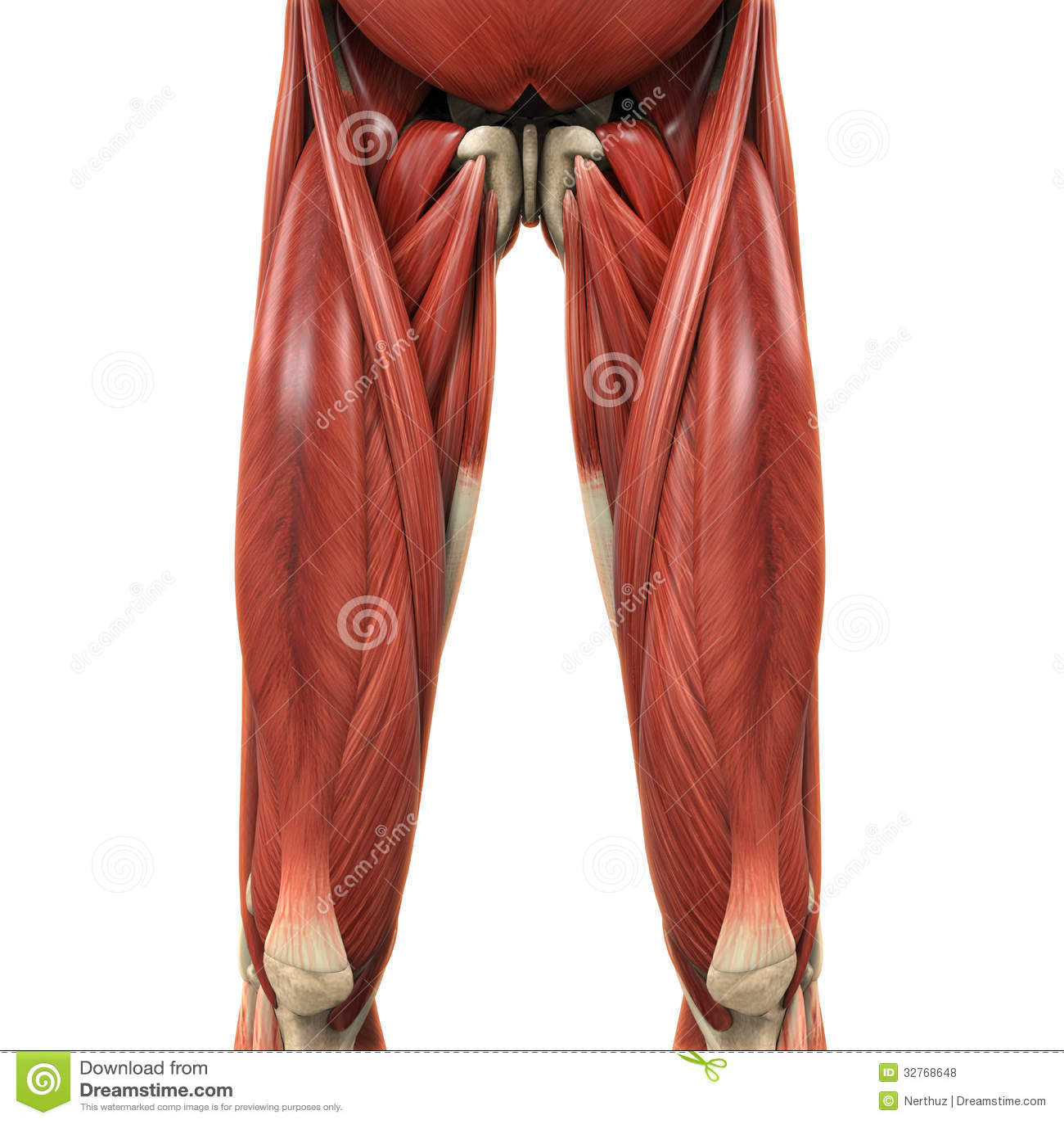 Upper Legs Muscles Anatomy stock illustration. Illustration of ...