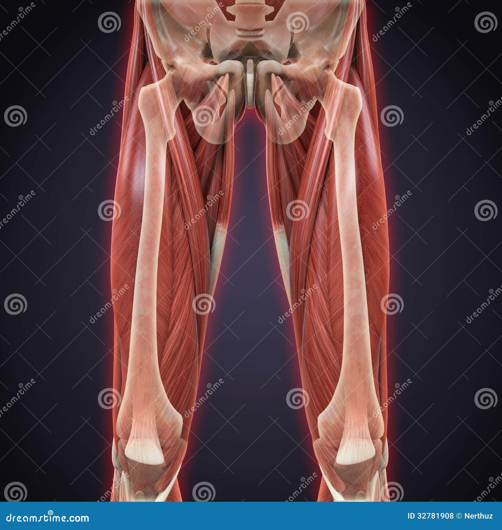 Upper Legs Muscles Anatomy Stock Illustration Illustration Of