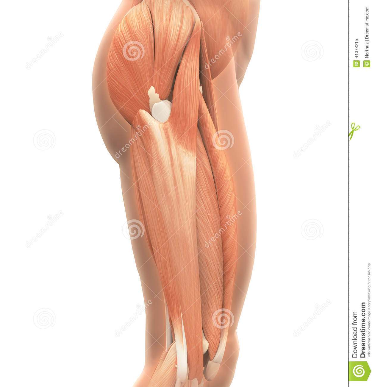 Upper Legs Muscles Anatomy stock illustration. Illustration of ...
