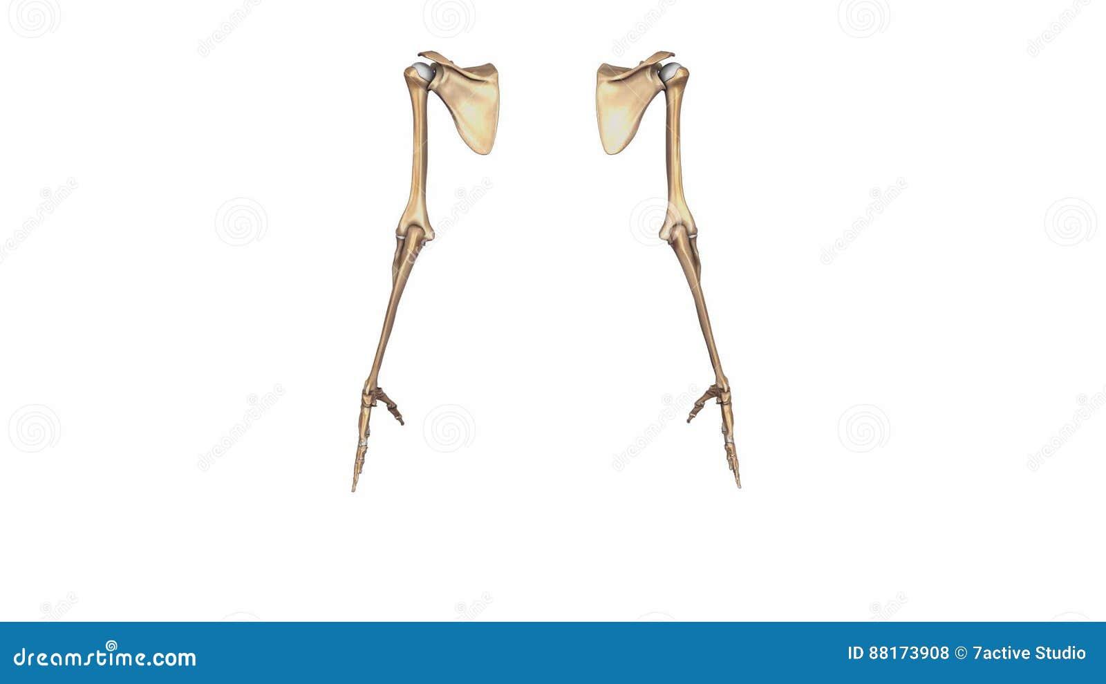 Upper Limbs stock footage  Video of limbs, artery, bones - 88173908
