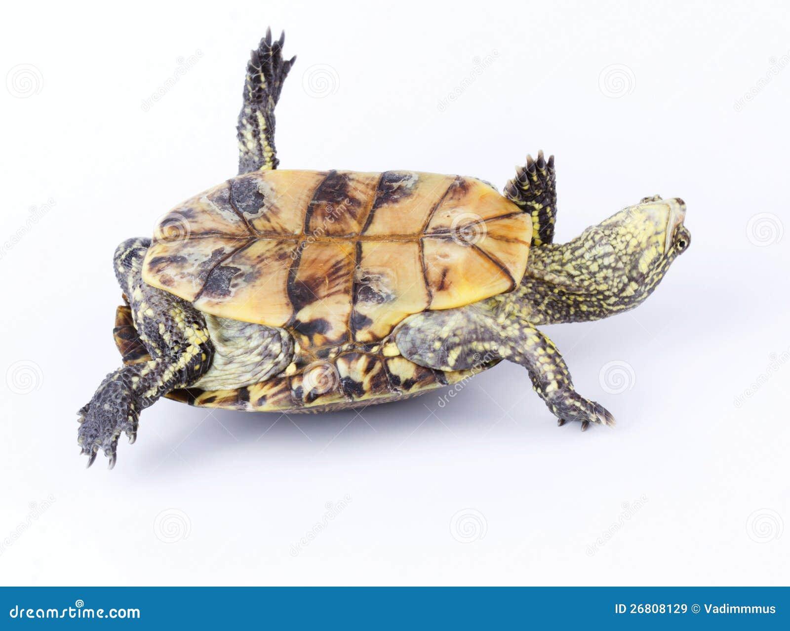 Uppochnervänd sköldpadda