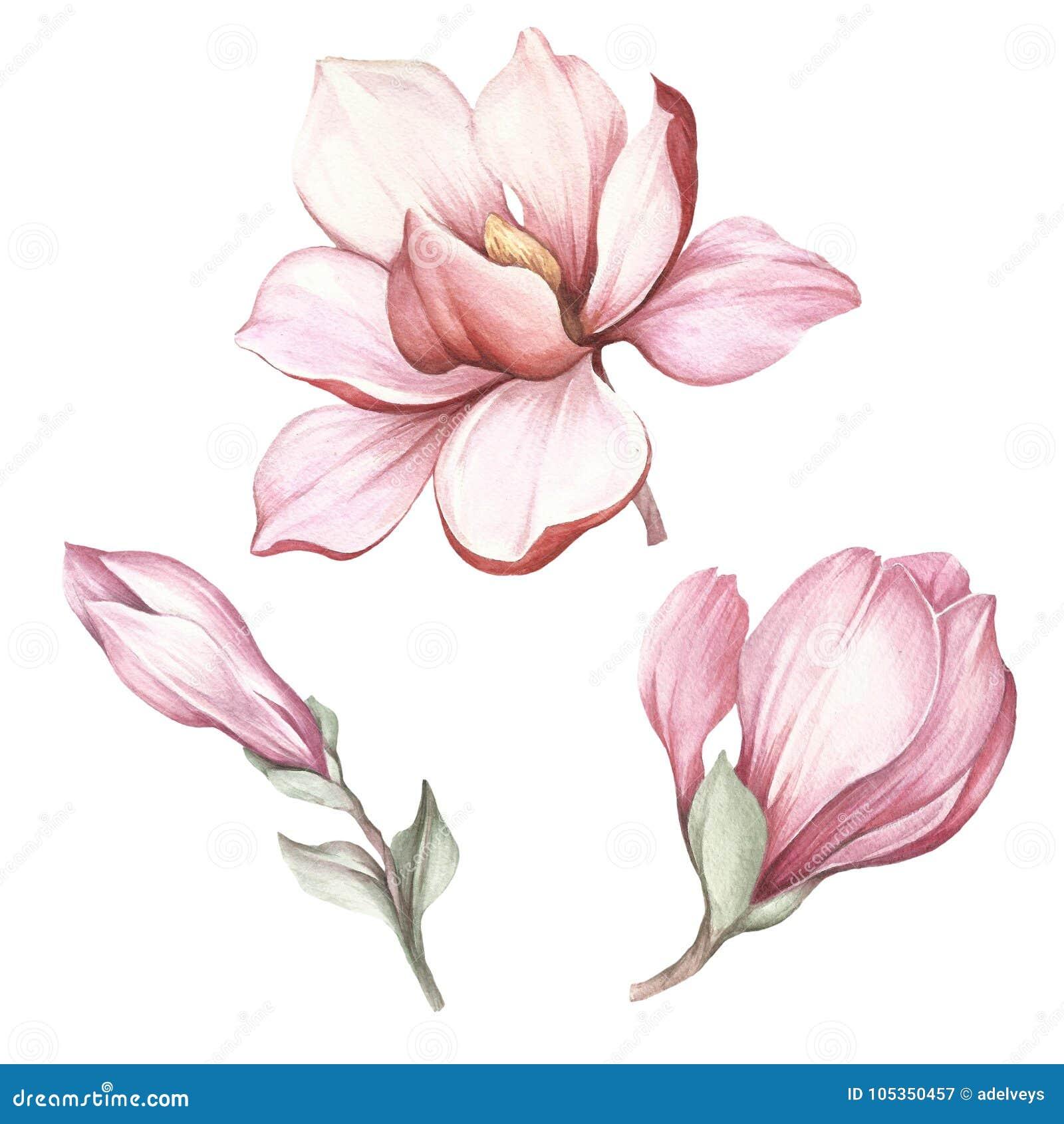 Uppsättning av den blommande magnolian Illustration för handattraktionvattenfärg