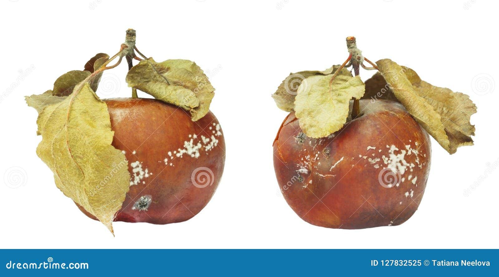 Uppsättning av formen som växer på det gamla äpplet Isolerat på det vita bakgrundsfotoet Matförorening, bad spolierade äcklig rut