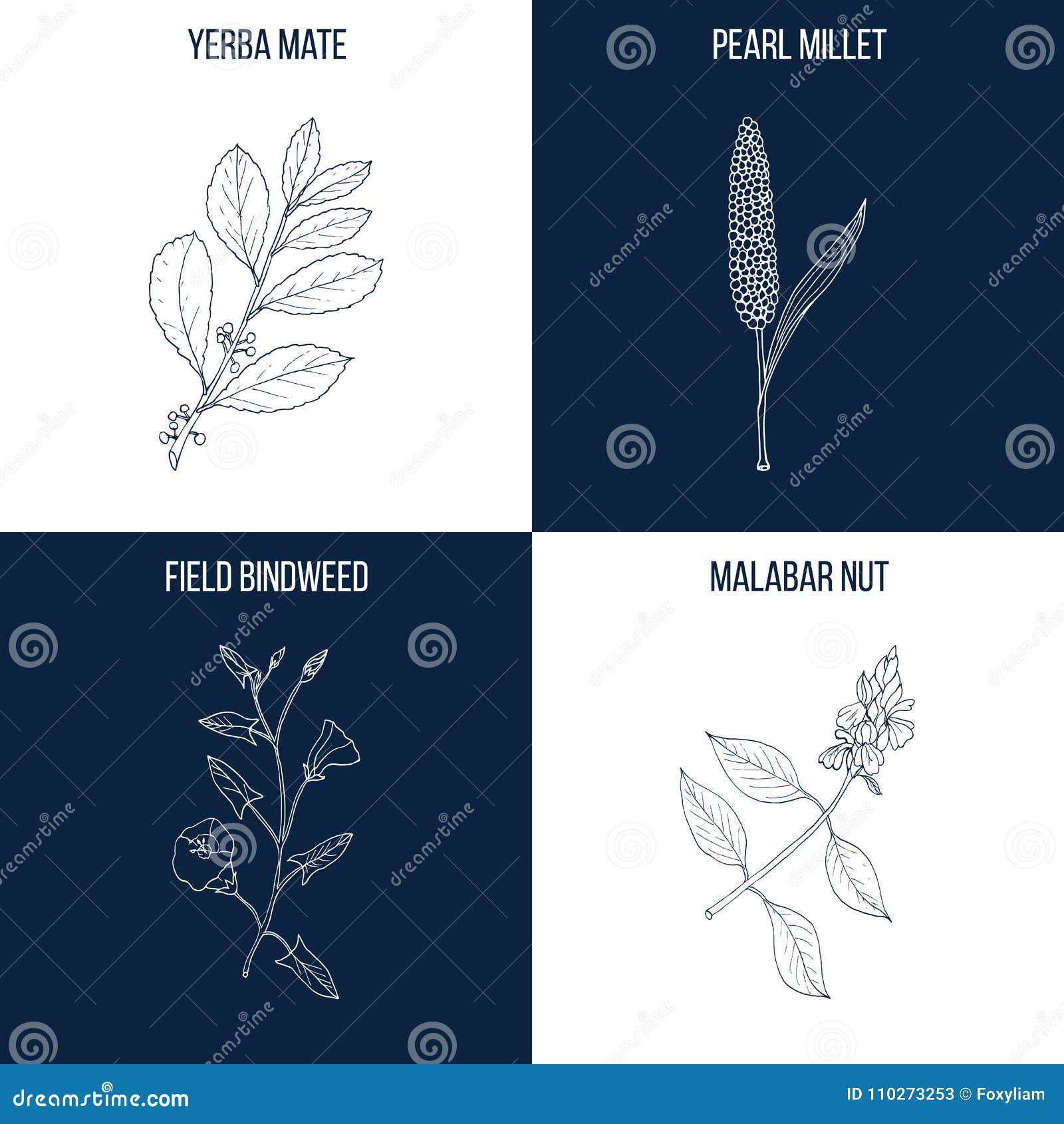Uppsättning av fyra hand drog matvara och medicinalväxter
