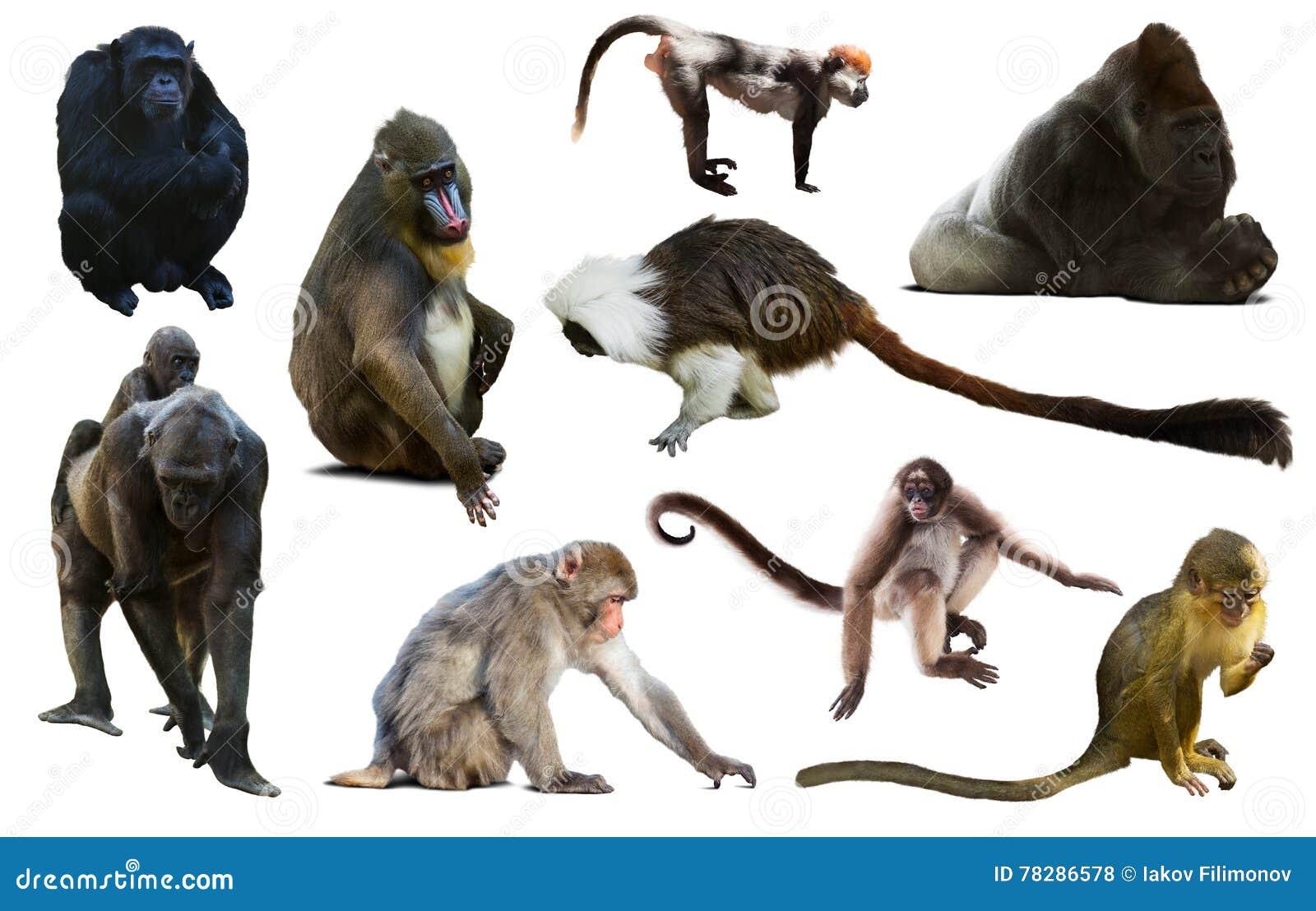 Uppsättning av primat
