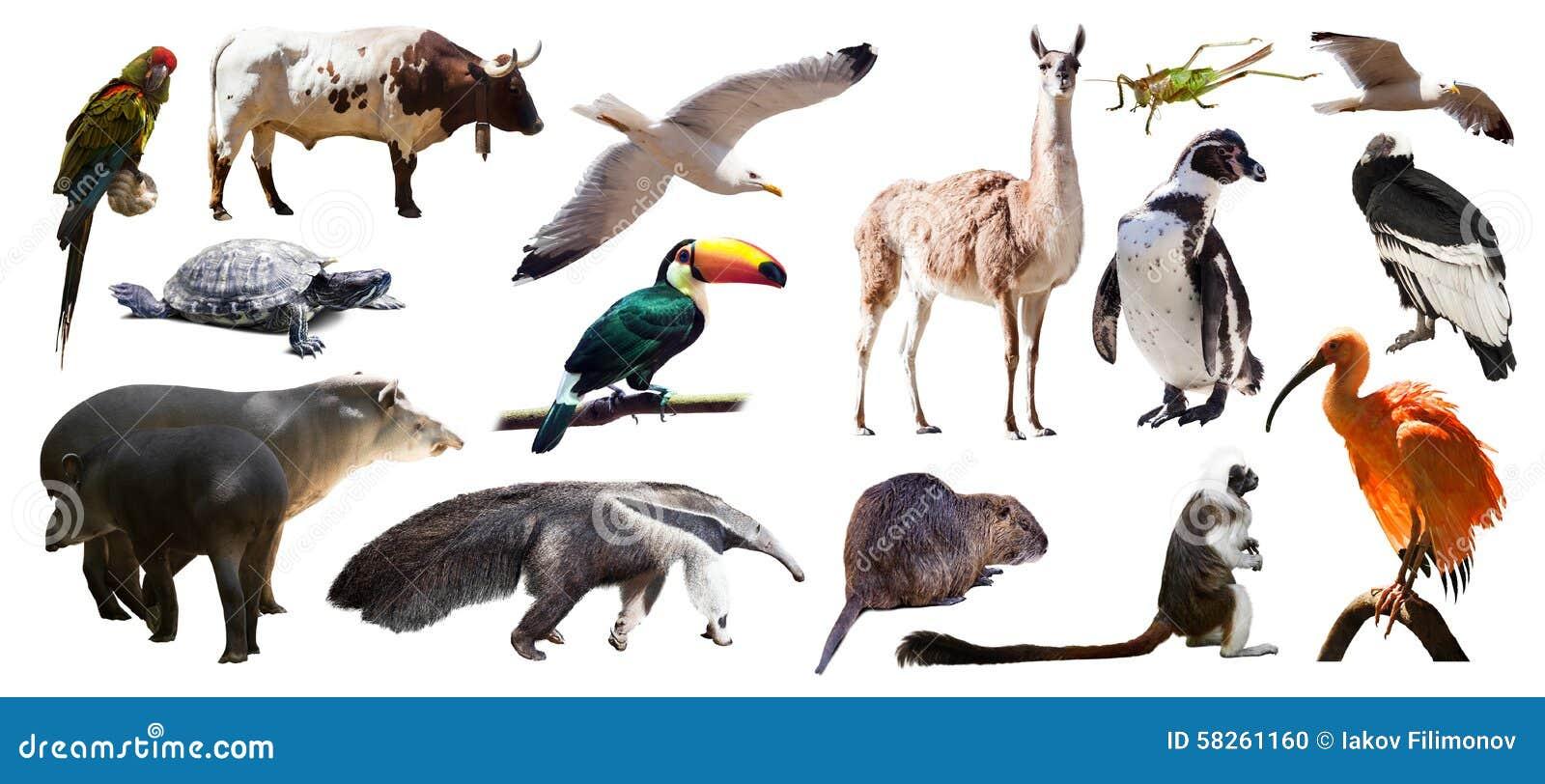 Uppsättning av söder - amerikanska djur Isolerat över vit