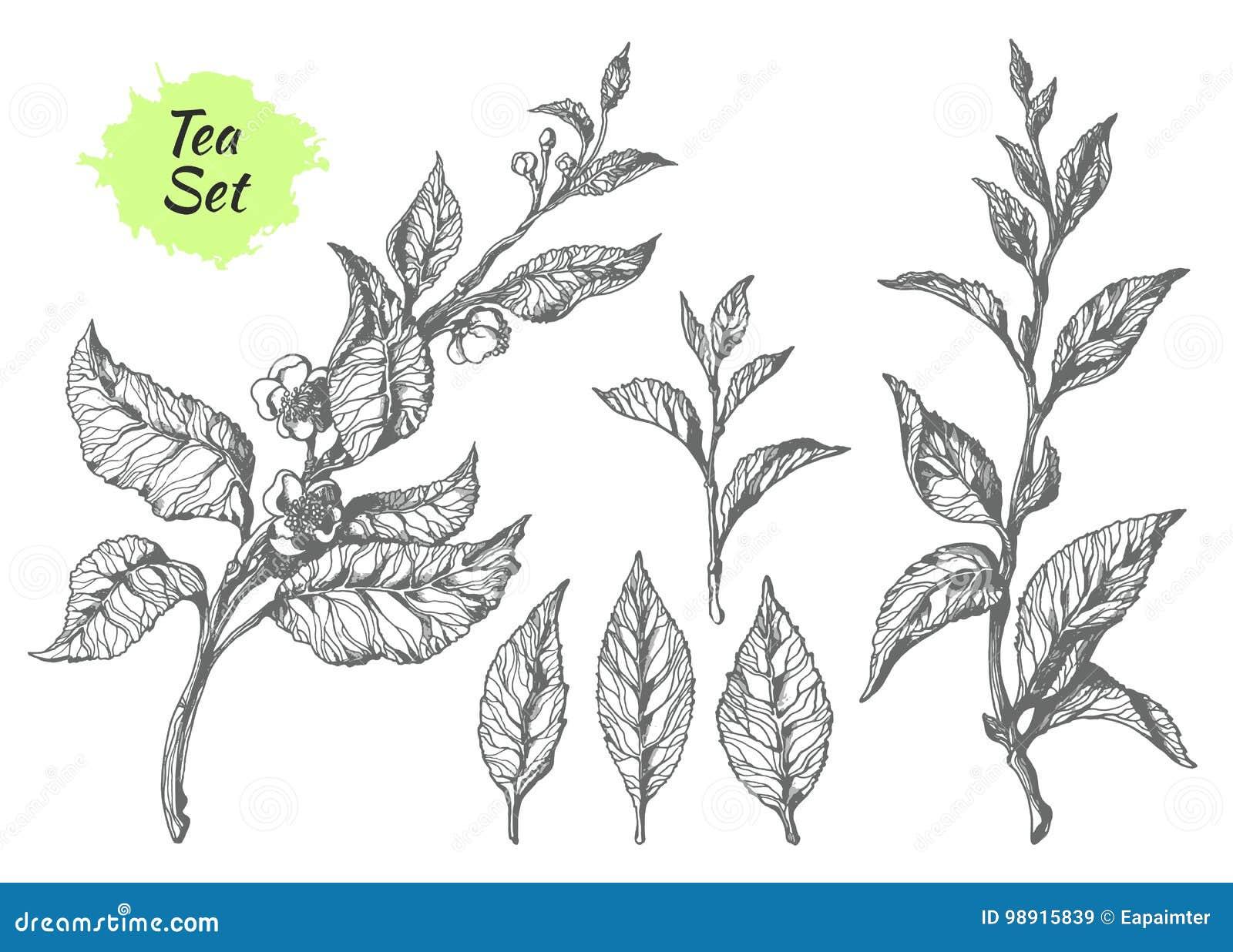 Uppsättning av tebuskefilialer Botanisk teckning vektor