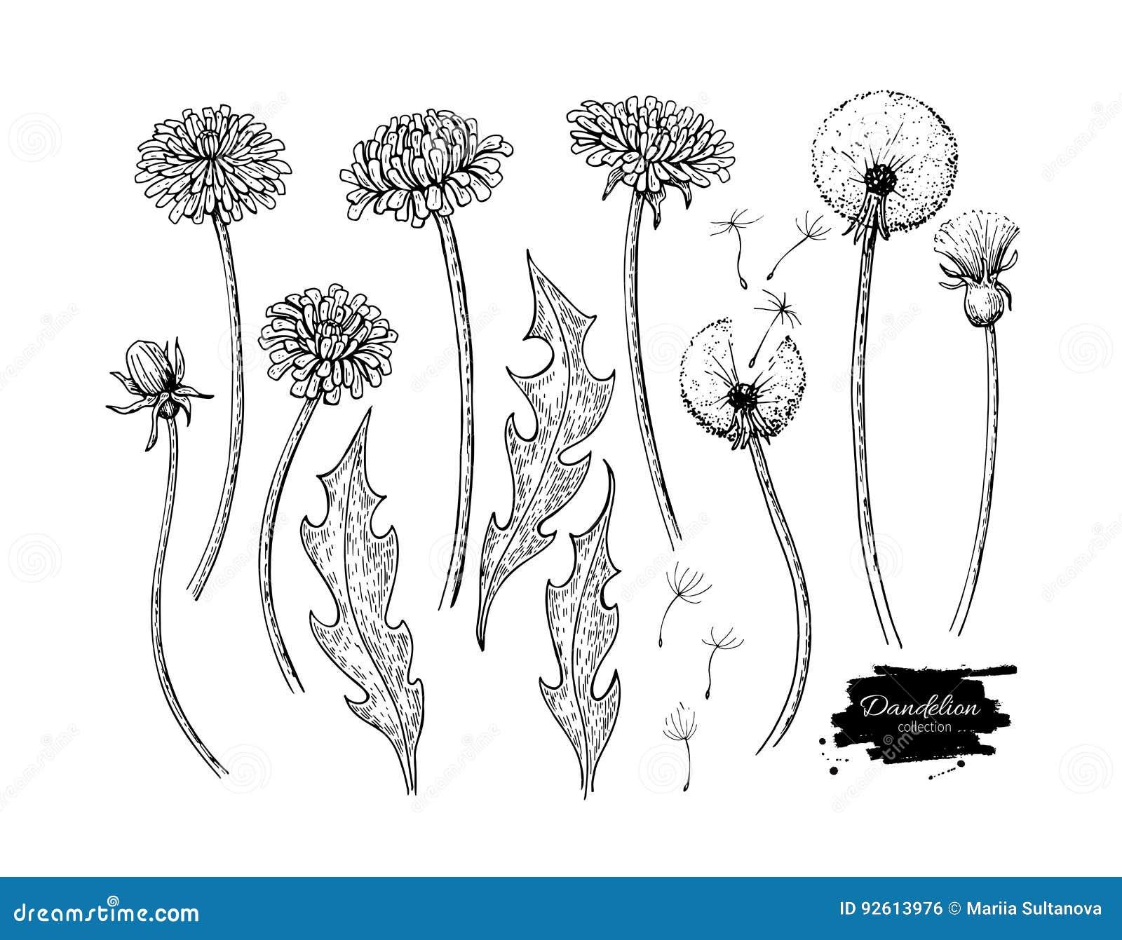 Uppsättning för teckning för maskrosblommavektor Isolerat lös växt- och flygfrö växt-