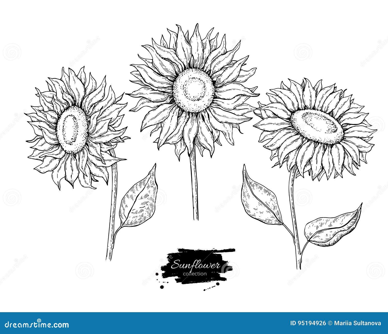 Uppsättning för teckning för solrosblommavektor Hand dragen illustration som isoleras på vit bakgrund