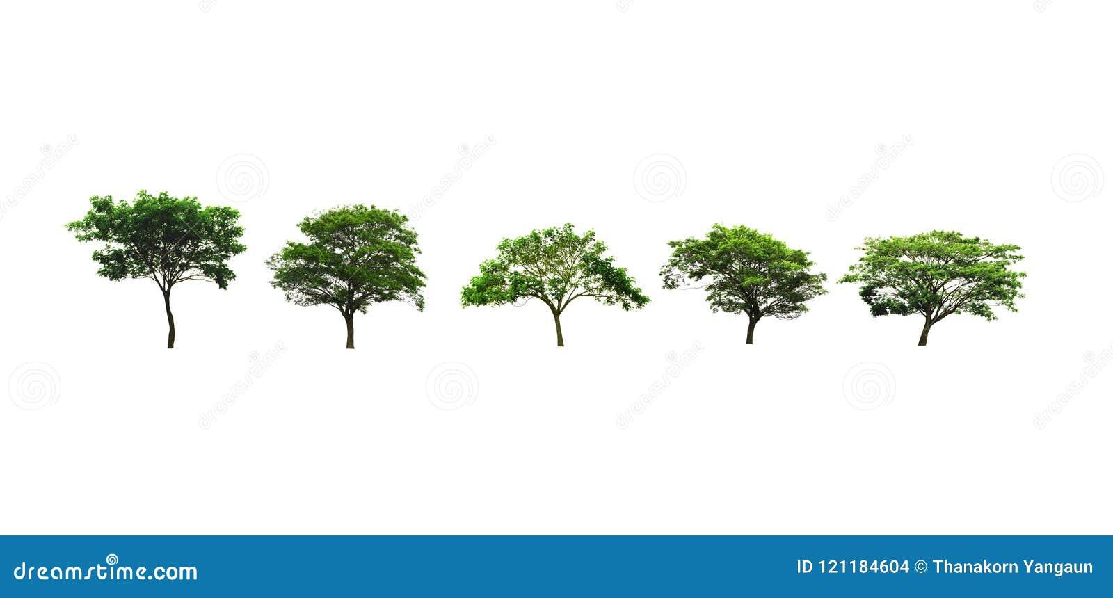 Uppsättning träd av för regnträd eller för östlig indier för valnöten eller siden- träd som växer upp i bygden som isoleras på vi