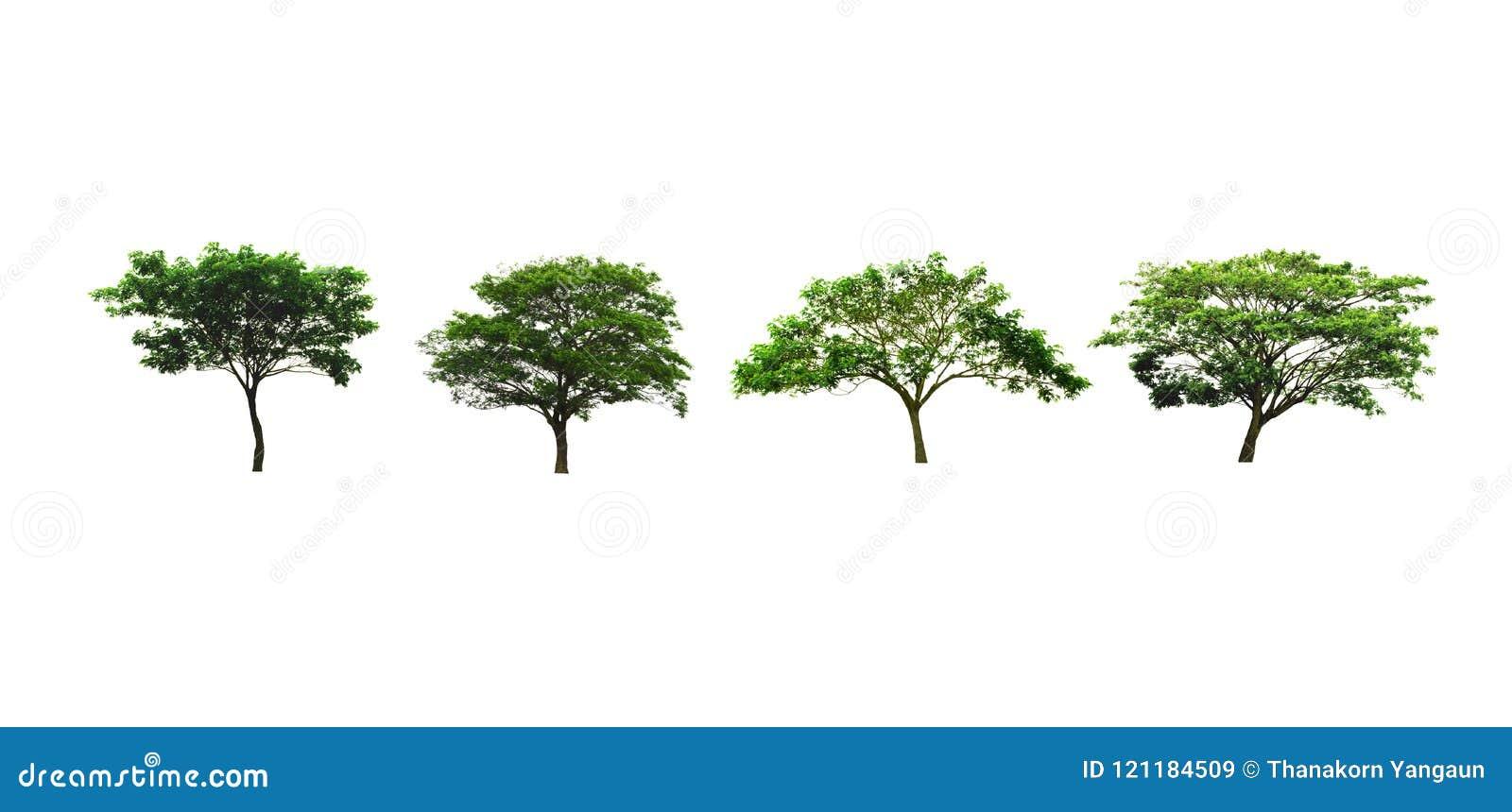 Uppsättningen av regnträdet eller det siden- trädet för valnöt för för träd som eller östlig indier isoleras på vit bakgrund, ser