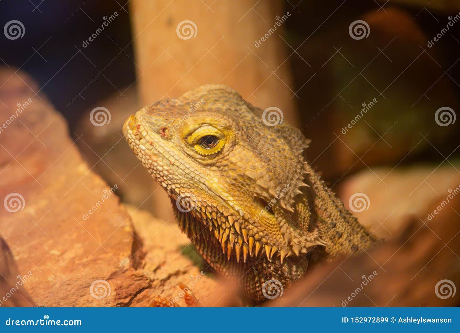 Uppsökte Dragon Close Up Face