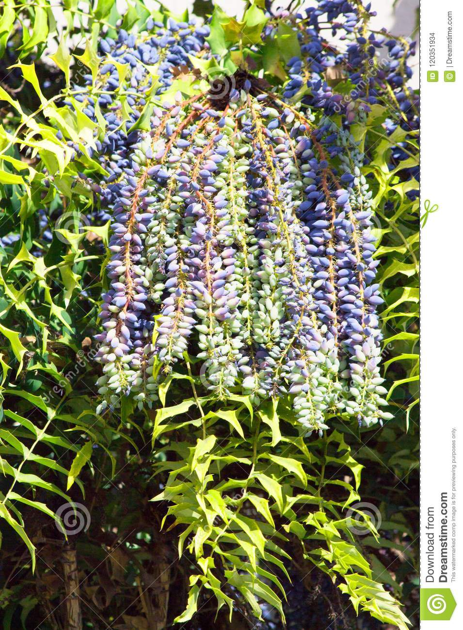 Landscaping With An Upright Shrub With Distrinctive Evergreen