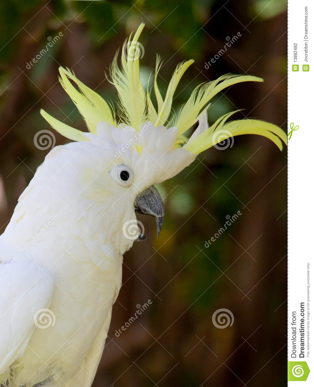 Upset White Cockatoo With Yellow Crest Stock Photography - Image ...