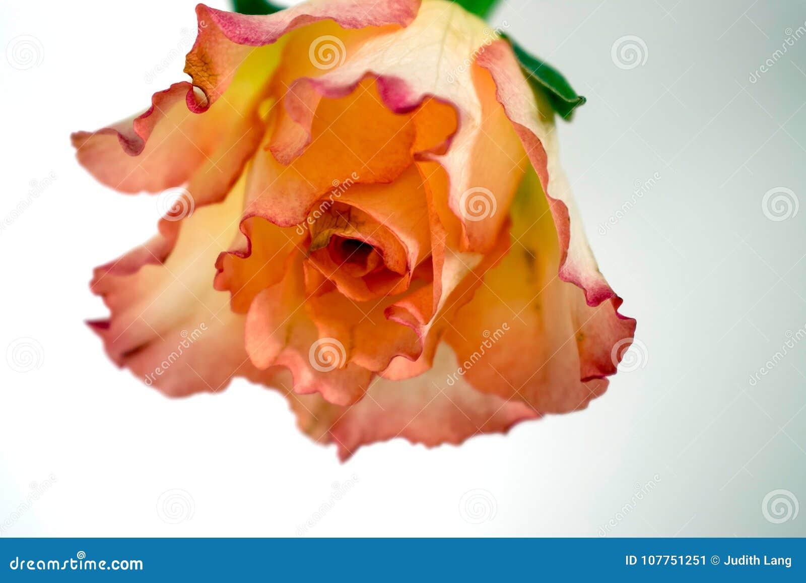 Upside Down Pink And Orange Rose Stock Image Image Of Flora