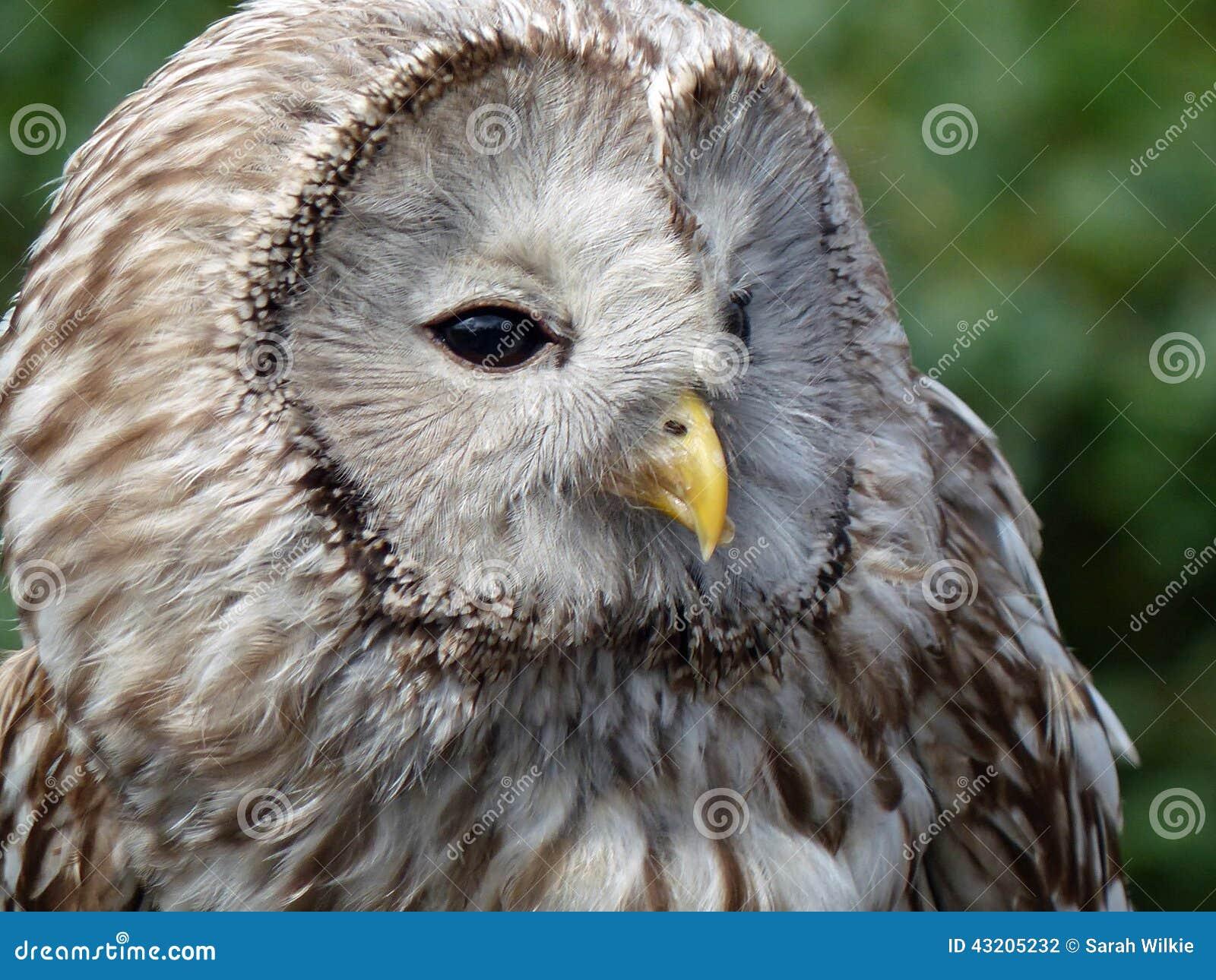 Download Ural owl arkivfoto. Bild av falk, snout, framsida, mitt - 43205232