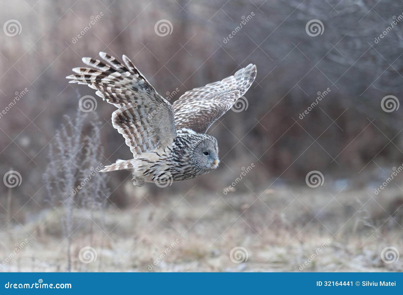 Great Grey Owl Flying Ural Owl (Strix Uralen...