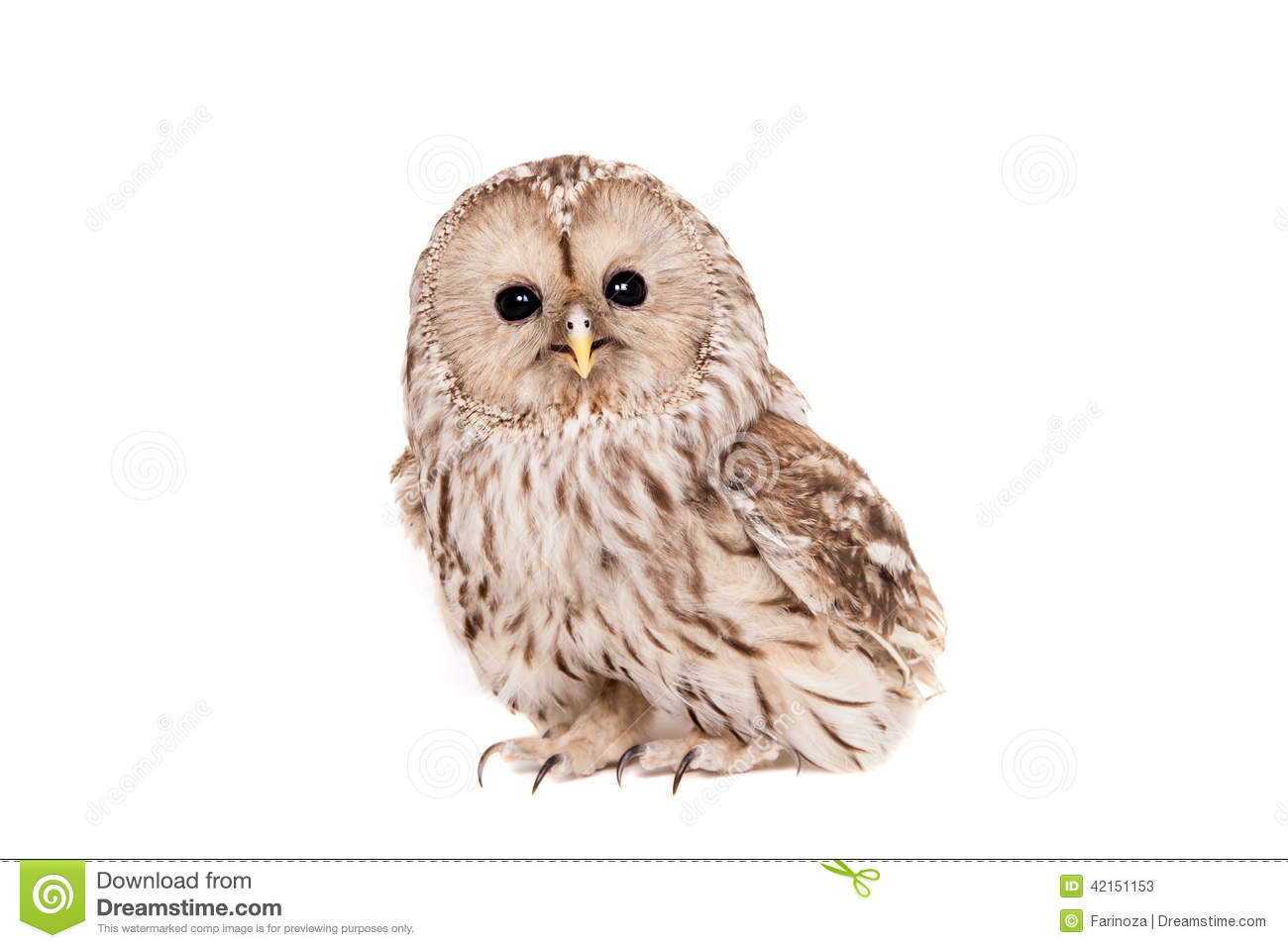 the background of the nocturnal bird northern spotted owl For nocturnal owl monitoring in north americamarch 2001 d  northern hawk owl bird  annual reportm dr ecology and management of the spotted owl in the.